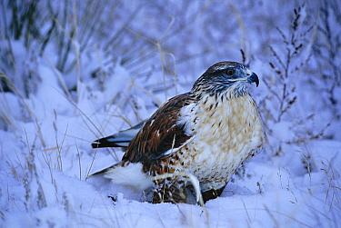Ferruginous Hawk (Buteo regalis) in snow, North America  -  David Welling/ npl