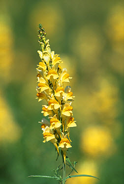 Common Toadflax (Linaria vulgaris) in flower, Gloucestershire, United Kingdom  -  William Osborn/ npl