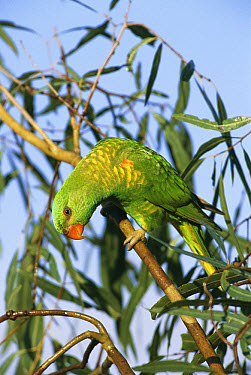 Scaly-breasted Lorikeet (Trichoglossus chlorolepidotus) in Eucalyptus tree, Queensland, Australia  -  William Osborn/ npl