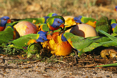 Rainbow Lorikeet (Trichoglossus haematodus) group feeding on fallen mangoes, Queensland, Australia  -  William Osborn/ npl