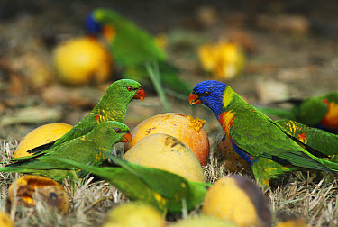 Rainbow Lorikeet (Trichoglossus haematodus) and Scaly-breasted Lorikeets (Trichoglossus chlorolepidotus) group feeding on fallen mangoes, Queensland, Australia  -  William Osborn/ npl