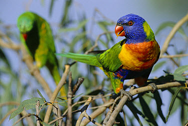 Rainbow Lorikeet (Trichoglossus haematodus) in Eucalyptus tree, Queensland, Australia  -  William Osborn/ npl