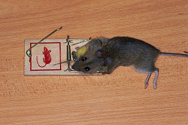 House Mouse (Mus musculus) killed in mouse trap, worldwide distribution  -  Bengt Lundberg/ npl