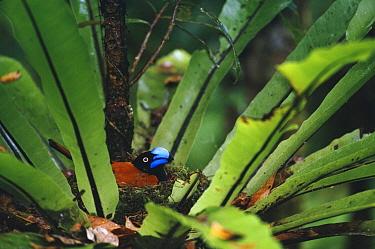 Helmet Vanga (Euryceros prevostii) on nest in Birds-nest Fern, Masoala National Park, Madagascar  -  Nick Garbutt/ npl