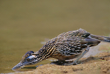 Greater Roadrunner (Geococcyx californianus) drinking from puddle, Texas  -  David Welling/ npl