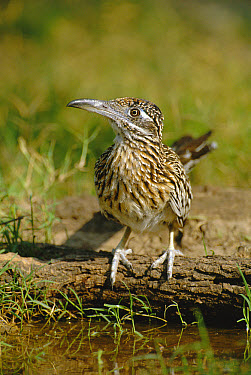 Greater Roadrunner (Geococcyx californianus) pauses while drinking from puddle, Texas  -  David Welling/ npl