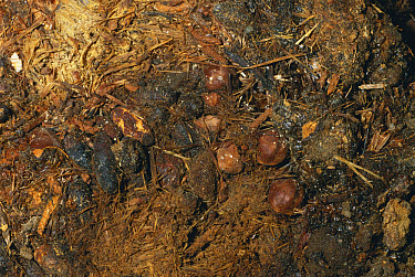 Pack Rat (Neotoma sp) fecal pellets and Juniper (Juniperus sp) seeds preserved in Grand Canyon from late Pleistocene period, over 20,000 years old, Arizona  -  Nigel Bean/ npl