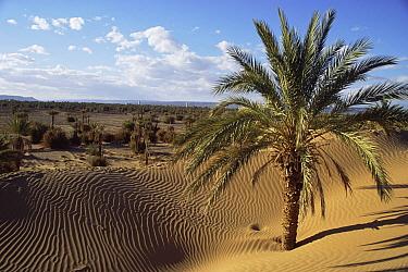 Sand dunes and palm trees, Draa Valley, Pre-Sahara, Morocco  -  Nick Barwick/ npl