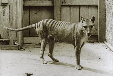 Tasmanian Tiger (Thylacinus cynocephalus) last known individual, Hobart Zoo, Tasmania, Australia  -  Dave Watts/ npl