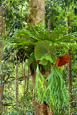 Staghorn Fern (Platycerium superbum) in rainforest, Queensland, Australia  -  Dave Watts/ npl
