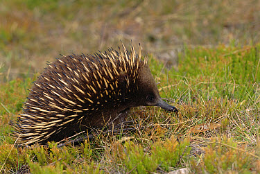 Short-beaked Echidna (Tachyglossus aculeatus) walking across lawn, native to Australia and Tasmania  -  Dave Watts/ npl