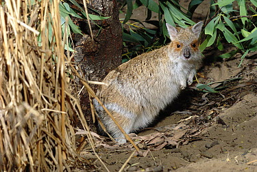 Spectacled Hare-wallaby (Lagorchestes conspicillatus), native to Australia  -  Dave Watts/ npl