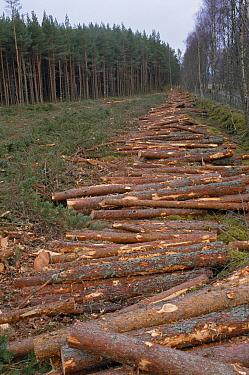 Scotch Pine (Pinus sylvestris) taken from forest for timber, Inshriach forest, Strathspey, Highlands, Scotland  -  Pete Cairns/ npl