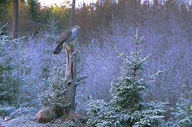 Northern Goshawk (Accipiter gentilis) female in snowy forest, Sweden  -  Bjorn Forsberg/ npl