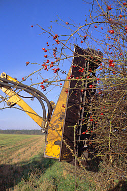 Hedge cutting in autumn - wrong time as berries are removed and birds cannot feed, United Kingdom  -  Martin H Smith/ npl
