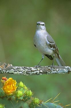 Northern Mockingbird (Mimus polyglottos) portrait, Texas  -  David Welling/ npl
