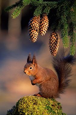 Eurasian Red Squirrel (Sciurus vulgaris) portrait with Pine (Pinus sp) cones, Sweden  -  Bengt Lundberg/ npl