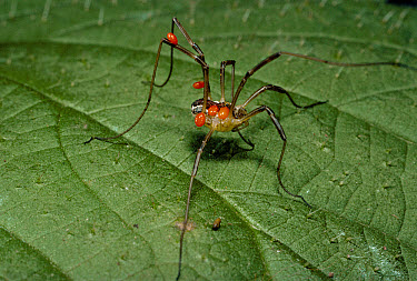 Harvestman (Mitopus morio) infested with Red Spider Mites, Scotland  -  Duncan McEwan/ npl