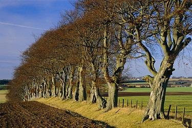 European Beech (Fagus sylvatica) trees planted as shelterbelt, Ayrshire, Scotland  -  Duncan McEwan/ npl