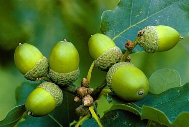 Sessile Oak (Quercus petraea) acorn group, Scotland  -  Duncan McEwan/ npl
