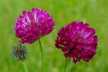 Red Clover (Trifolium pratense) flowering pair, Scotland  -  Duncan McEwan/ npl