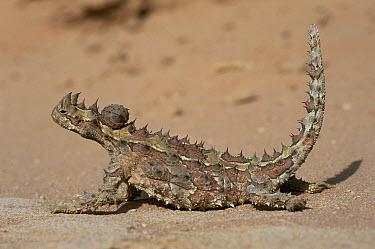Thorny Devil (Moloch horridus) profile, Gnaraloo, Western Australia  -  Martin Gabriel/ npl