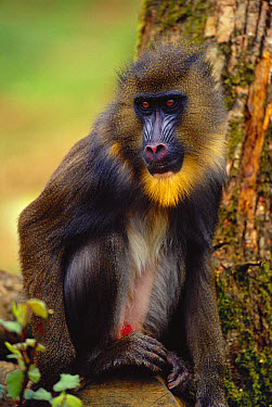 Mandrill (Mandrillus sphinx) male portrait, threatened native to Africa  -  Dave Watts/ npl
