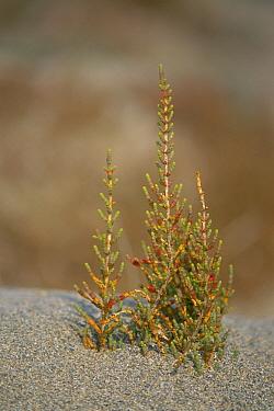 Glasswort (Arthrocnemum glaucum) growing in typical sandy habitat, Spain  -  Jose B. Ruiz/ npl