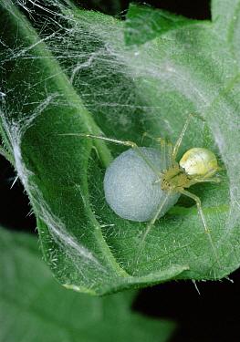 Comb-footed Spider (Enoplognatha ovata) female with egg sac, Scotland  -  Duncan McEwan/ npl