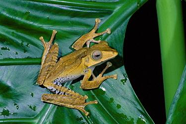 Bornean Eared Frog (Polypedates otilophus) portrait, Danum Valley, Sabah, Borneo  -  Nick Garbutt/ npl