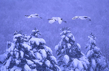 Red-crowned Crane (Grus japonensis) parents and previous year's chick flying to roost in snowstorm, endangered, Akan National Park, Hokkaido, Japan  -  Vincent Munier/ npl