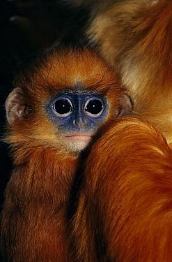 Banded Leaf Monkey (Presbytis melalophos) baby clinging to mother, native to Sumatra  -  Rod Williams/ npl