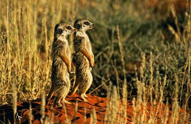 Meerkat (Suricata suricatta) pair standing on guard, Tswalu Kalahari Reserve, South Africa  -  Marguerite Smits Van Oyen/ npl