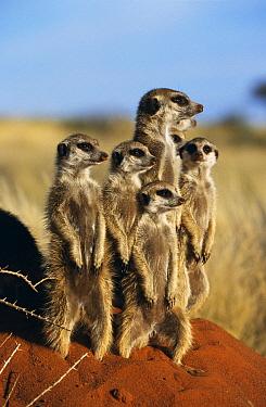Meerkat (Suricata suricatta) family standing on guard, Tswalu Kalahari Reserve, South Africa  -  Marguerite Smits Van Oyen/ npl