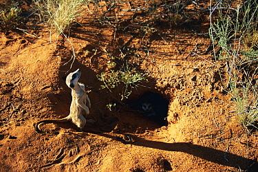 Meerkat (Suricata suricatta) at burrow entrance, Tswalu Kalahari Reserve, South Africa  -  Marguerite Smits Van Oyen/ npl