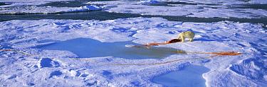 Polar Bear (Ursus maritimus) feeds on seal leaving trail of blood on snow, Spitsbergen, Svalbard, Norway  -  Patricio Robles Gil/ npl