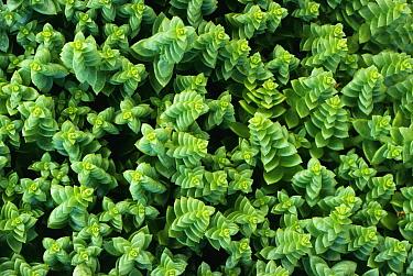 Sea Sandwort (Honckenya peploides), typical of seashore habitat, United Kingdom  -  Tony Evans/ npl