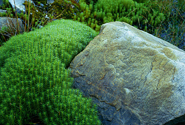 Hair Cap Moss (Polytrichum commune) and rocks, United Kingdom  -  Tony Evans/ npl