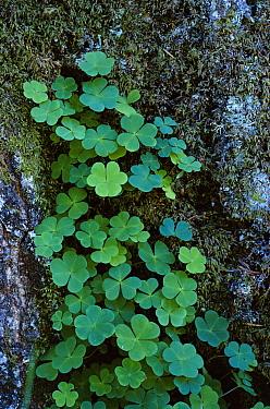 Wood Sorrel (Oxalis acetosella) growing at base of tree, United Kingdom  -  Tony Evans/ npl