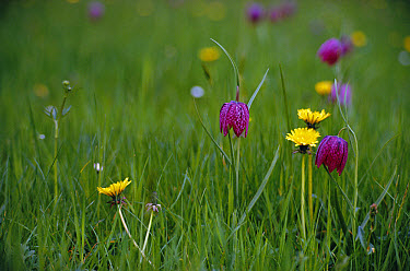 Checkered Lily (Fritillaria meleagris) and Dandelions (Taraxacum officinale) in field, United Kingdom  -  Tony Evans/ npl