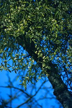 Mistletoe (Viscum album) with berries, United Kingdom  -  Tony Evans/ npl