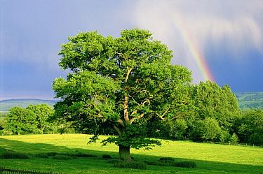 English Oak (Quercus robur) in field with rainbow, Scotland  -  Tony Evans/ npl