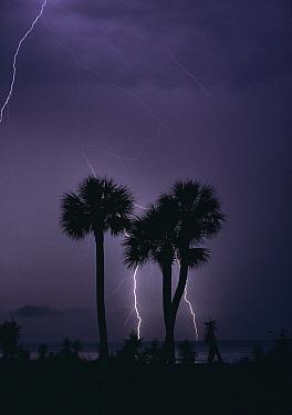 Lightning behind silhouette of Palm Trees at night, South Carolina  -  Tony Evans/ npl