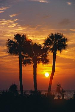 Palm Trees at sunset, South Carolina  -  Tony Evans/ npl