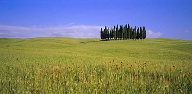 Cypress trees in wheat field near Siena, Tuscany, Italy  -  Gavin Hellier/ npl