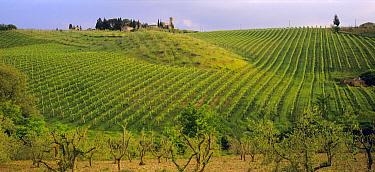 Vineyards in rolling landscape, San Gimignano, Tuscany, Italy  -  Gavin Hellier/ npl