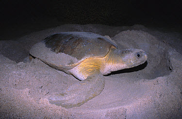 Flatback Turtle (Natator depressa) female digging nest on beach, Broome, Western Australia  -  Robert Valentic/ npl