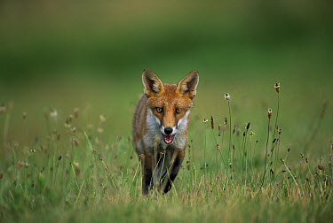 Red Fox (Vulpes vulpes) juvenile walking through field, Europe  -  Laurent Geslin/ npl