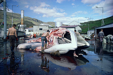 Fin Whale (Balaenoptera physalus) meat being processed on dock beside whaling ship, endangered, Hvalfjordur, West Iceland  -  Mark Carwardine/ npl