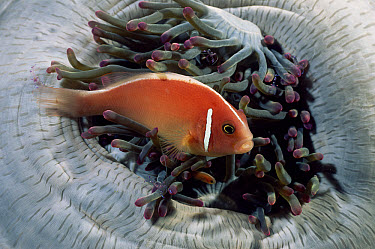Pink Anemonefish (Amphiprion perideraion) in host anemone, Lembeh, Sulawesi  -  Solvin Zankl/ npl